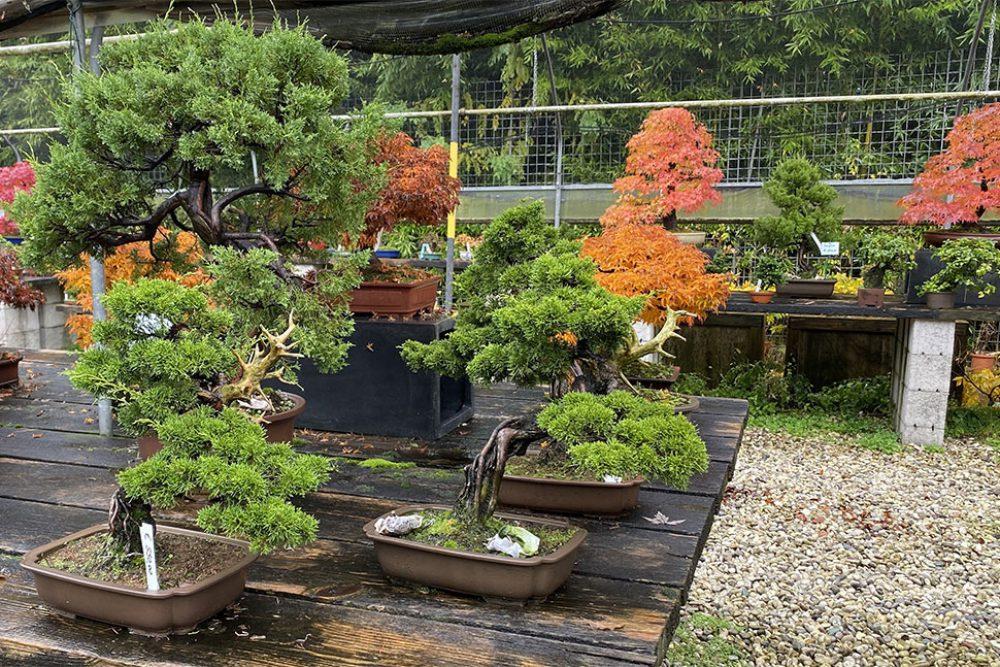 IMG_0681.bonsai-da-esterno