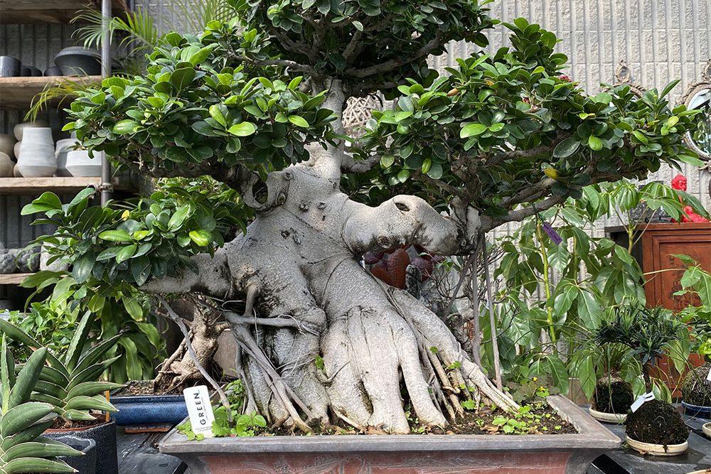 IMG_2496.Ficus